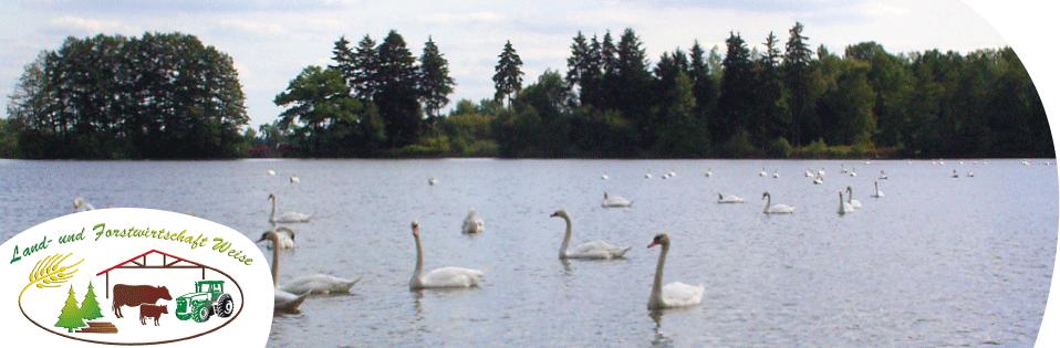 Schwangruppe auf dem Teich